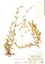Cerastium subspicatum Wedd., Peru, J. F. Macbride 1885, F