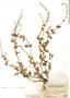 Salvia occidentalis Sw., Peru, J. F. Macbride 2056, F