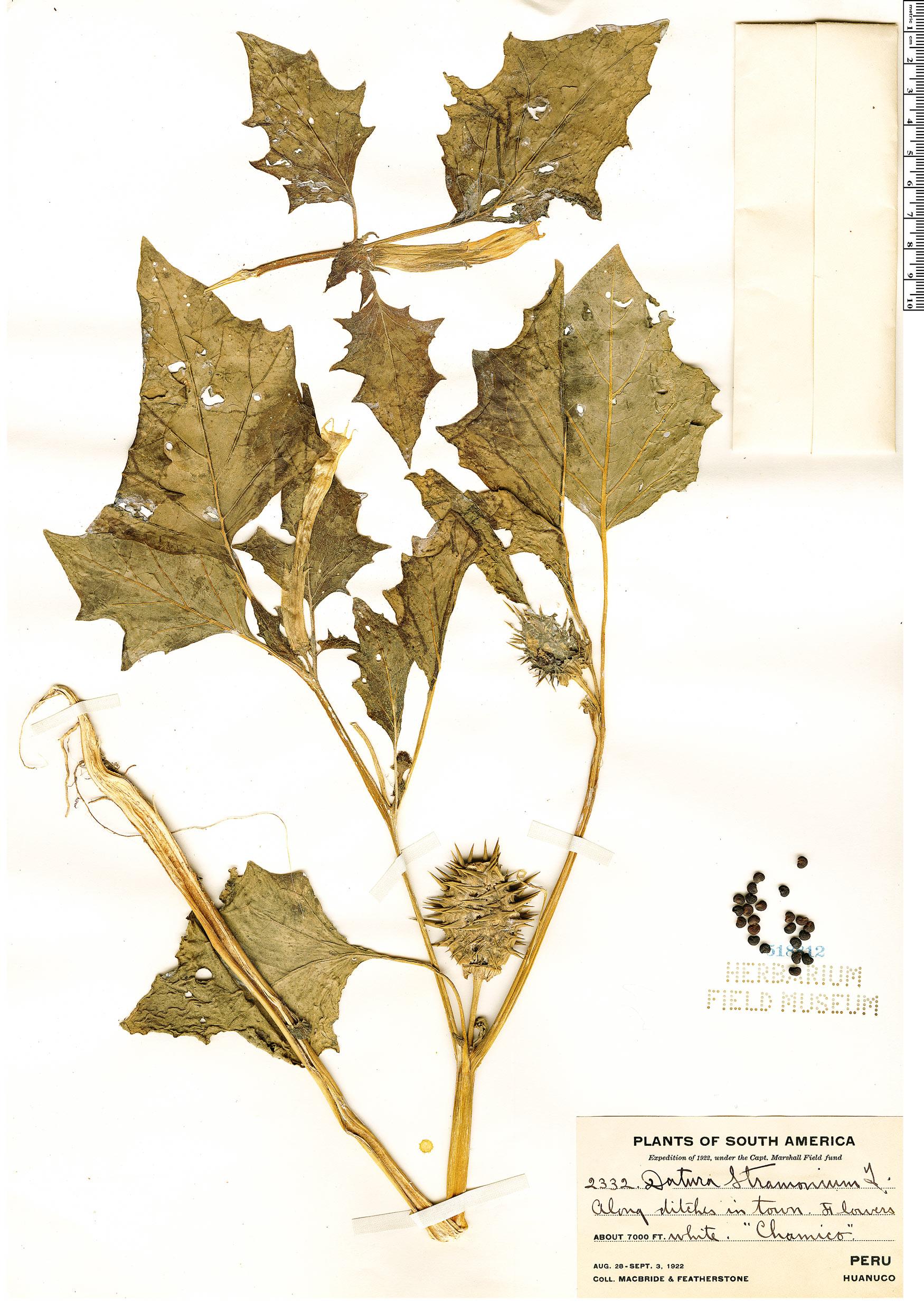 Specimen: Datura stramonium