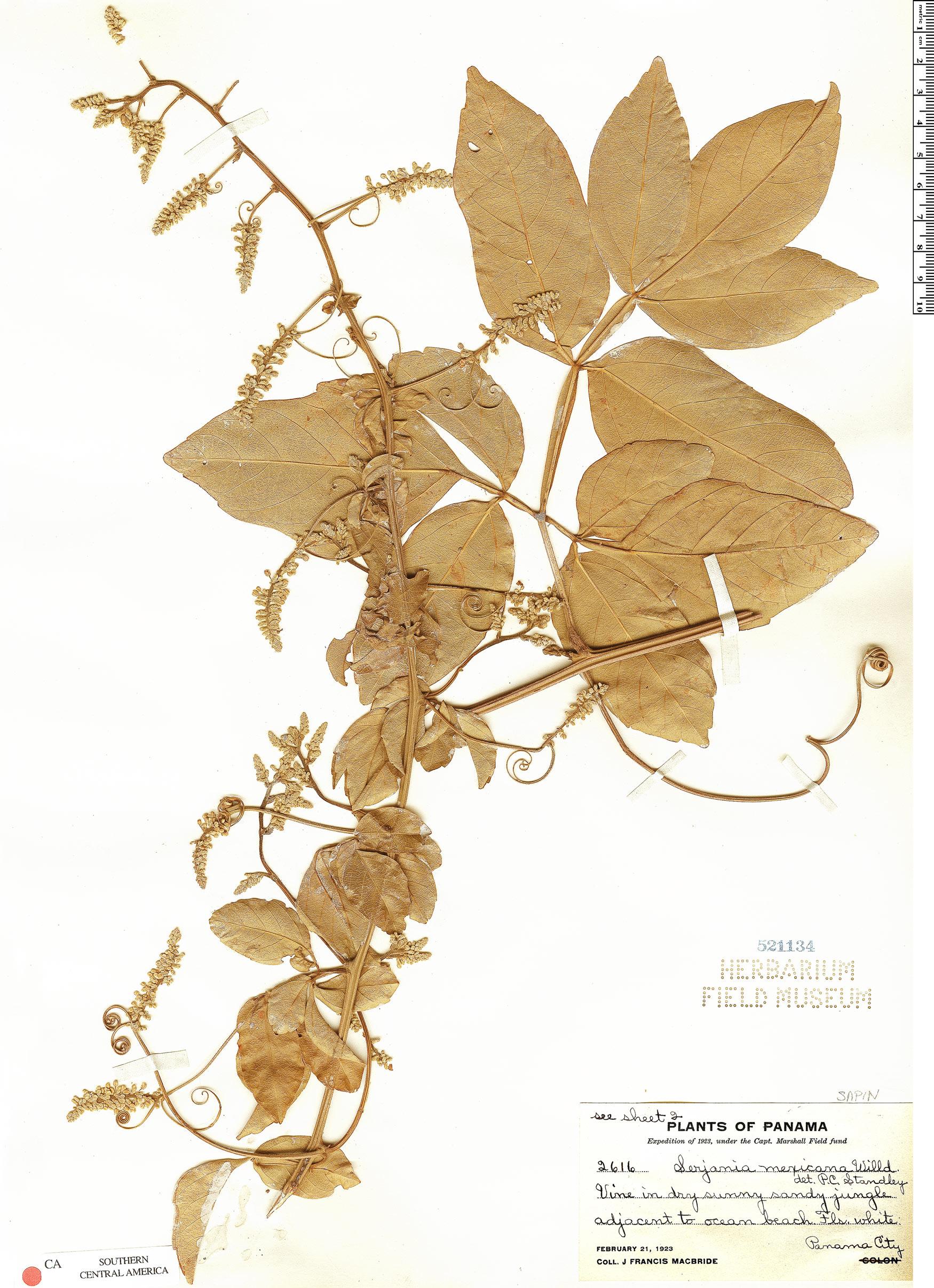 Serjania mexicana image