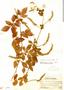 Paullinia fuscescens Kunth, Panama, J. F. Macbride 2624, F