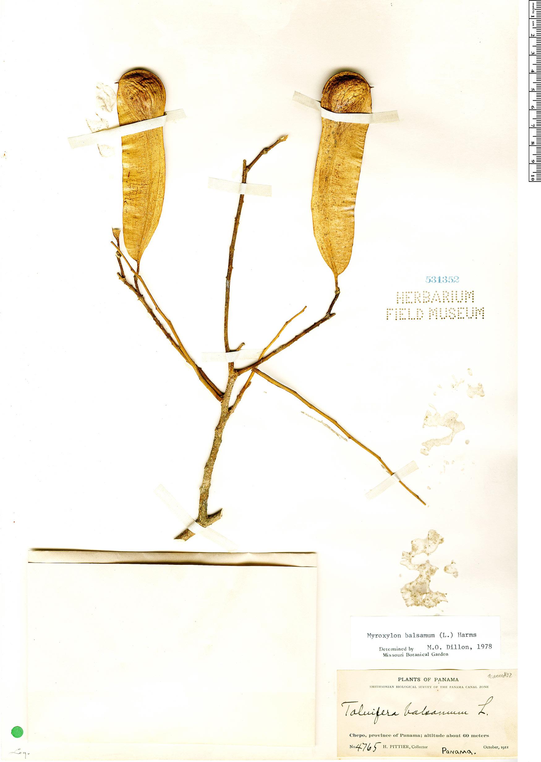 Specimen: Myroxylon balsamum