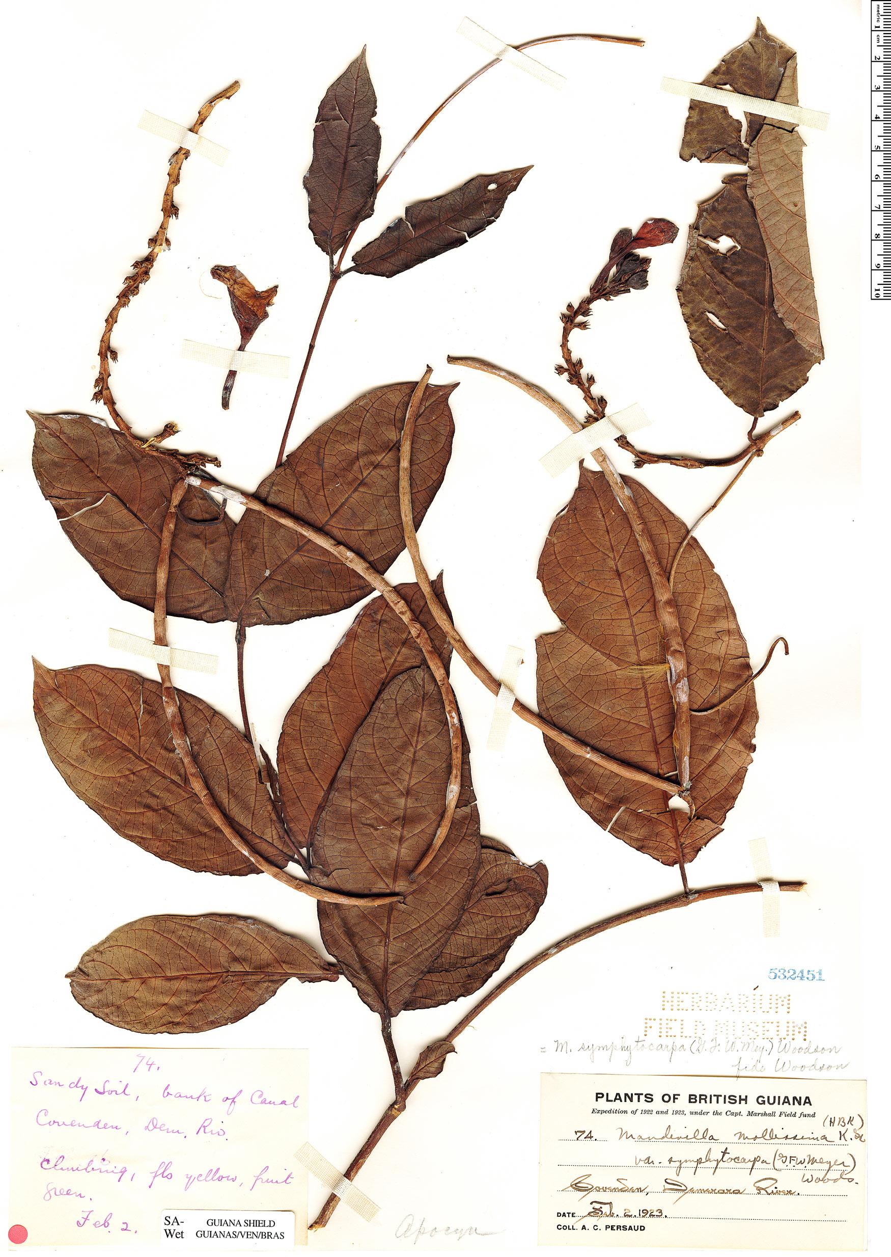 Espécime: Mandevilla symphytocarpa