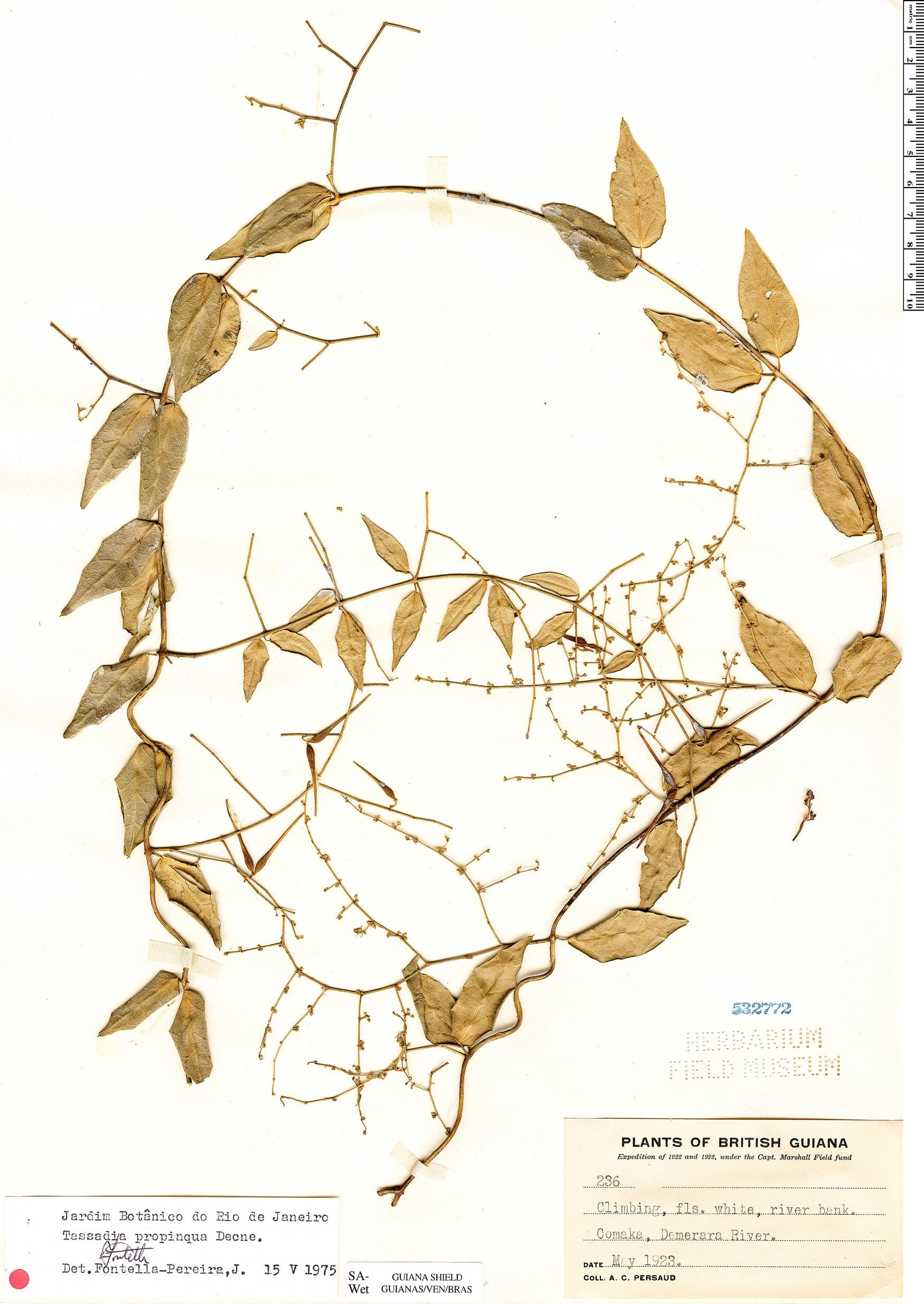 Specimen: Tassadia propinqua