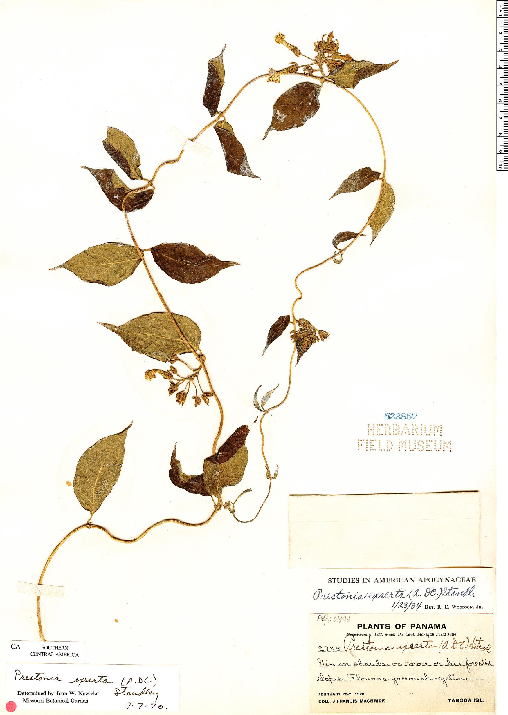 Prestonia exserta image