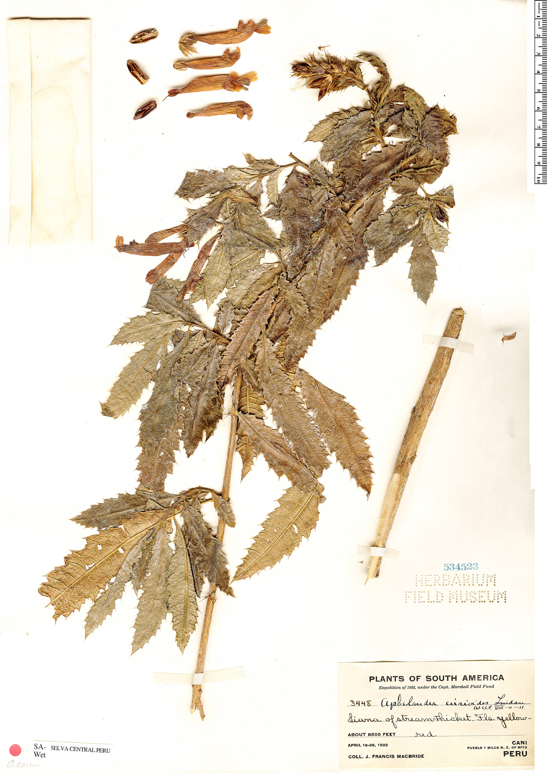 Espécimen: Aphelandra cirsioides