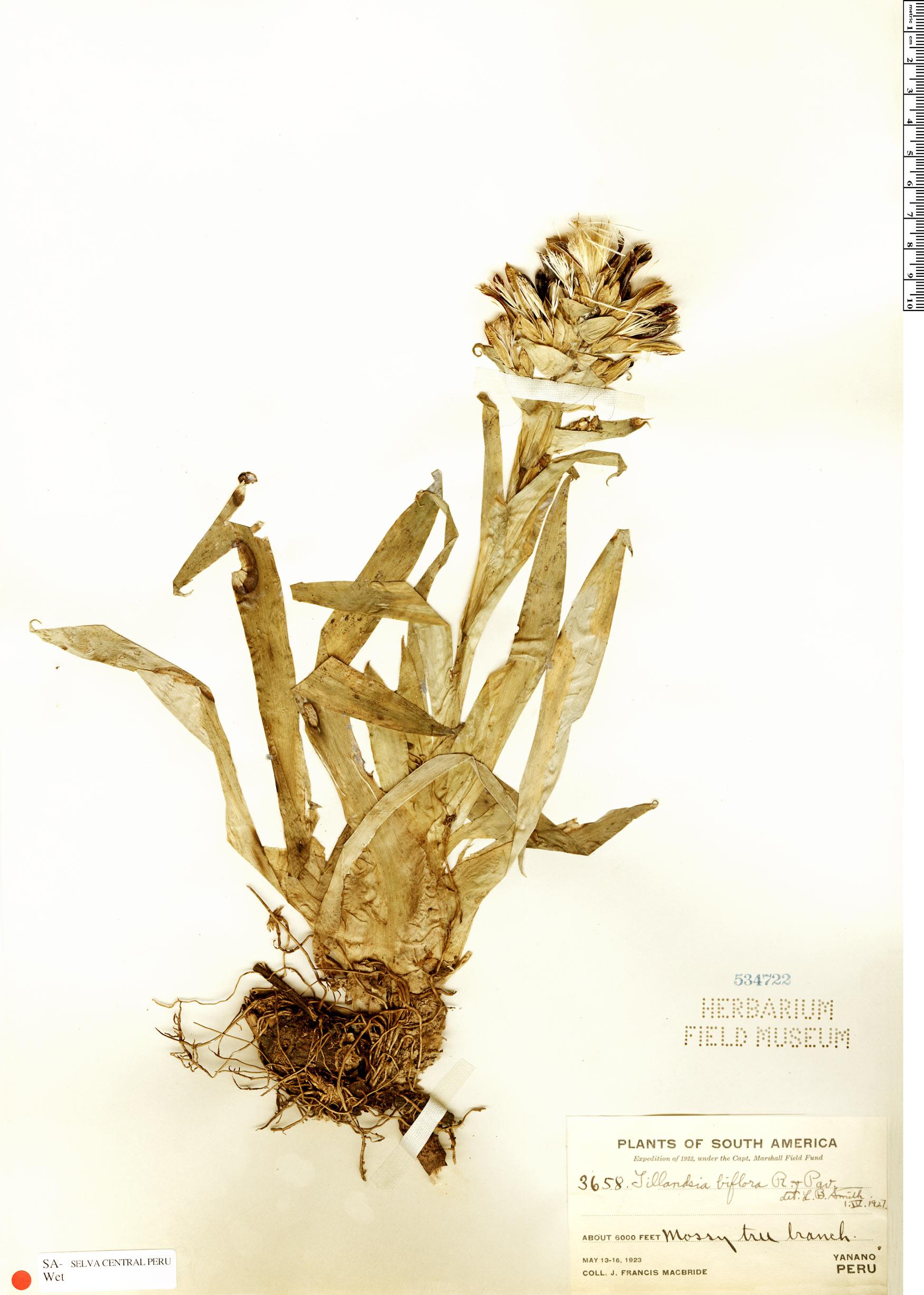 Specimen: Tillandsia biflora