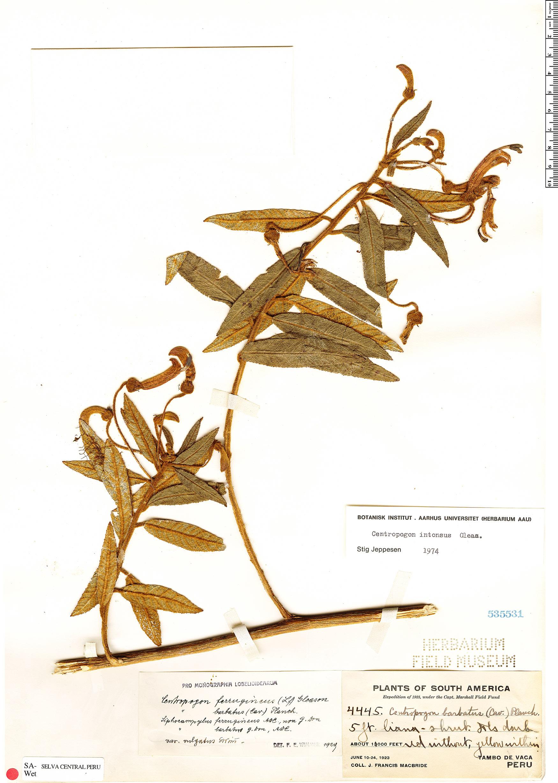 Specimen: Centropogon intonsus