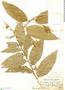 Cestrum strigilatum, Peru, J. F. Macbride 5329, F