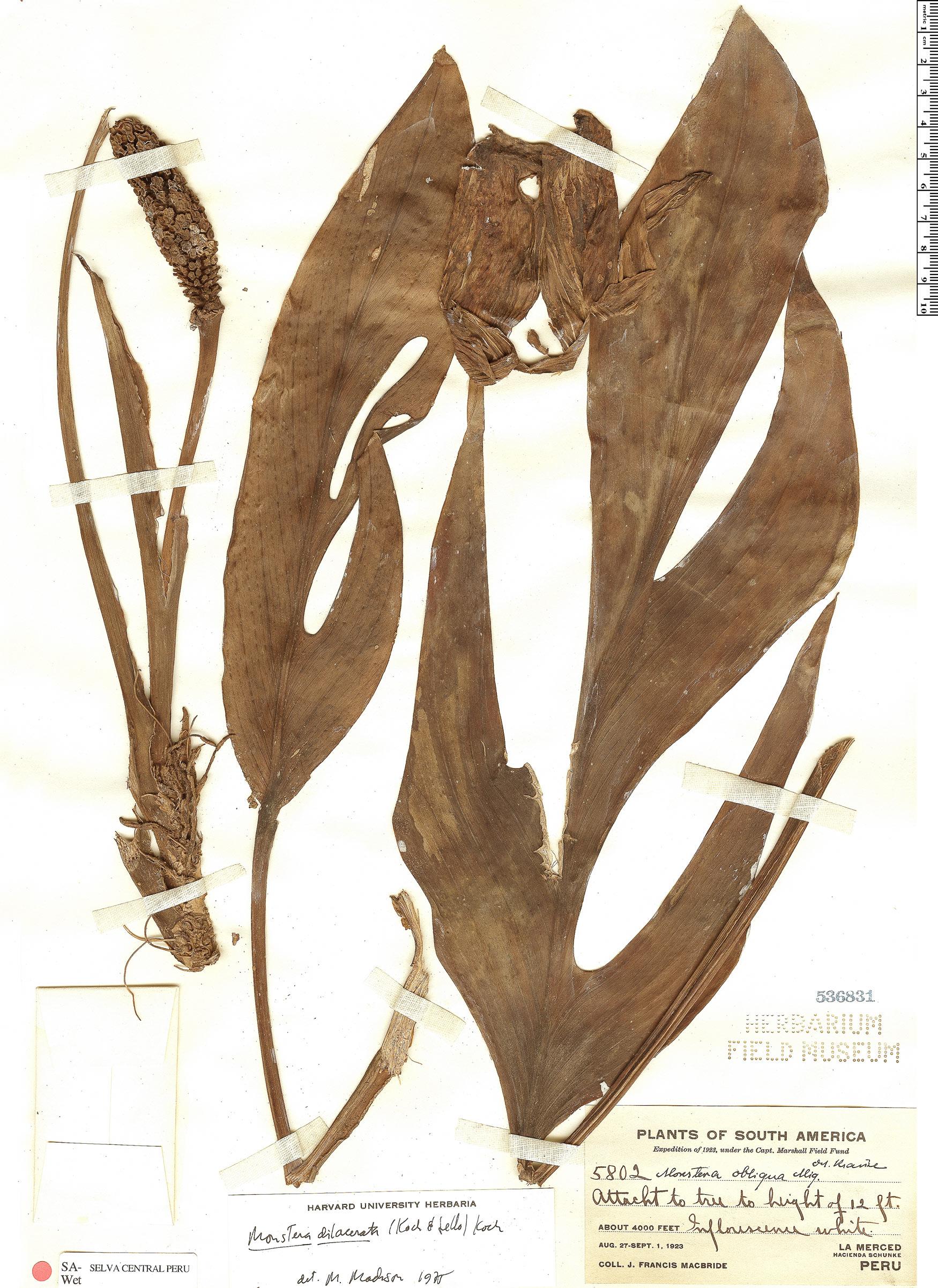 Espécime: Monstera pinnatipartita