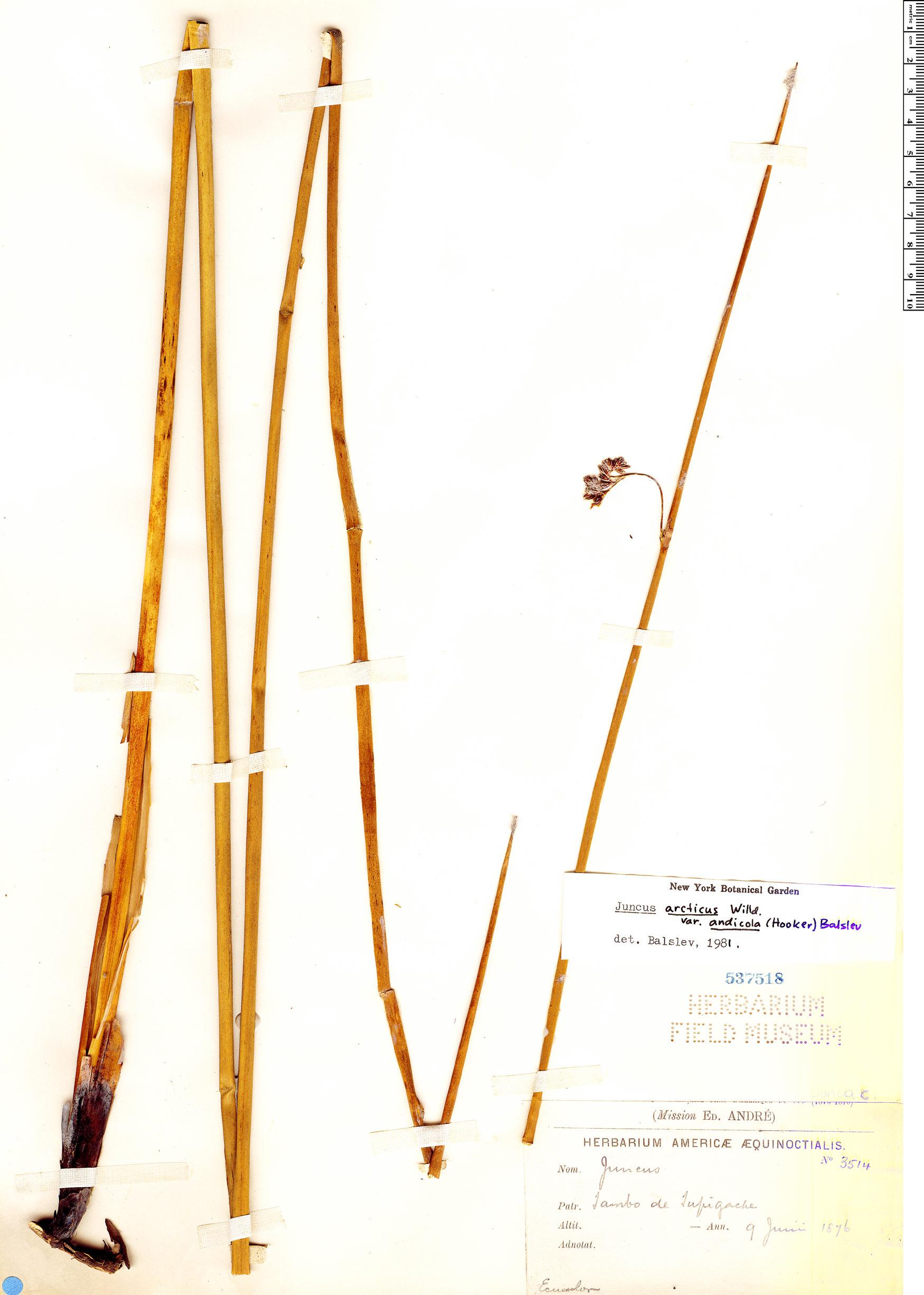 Specimen: Juncus arcticus
