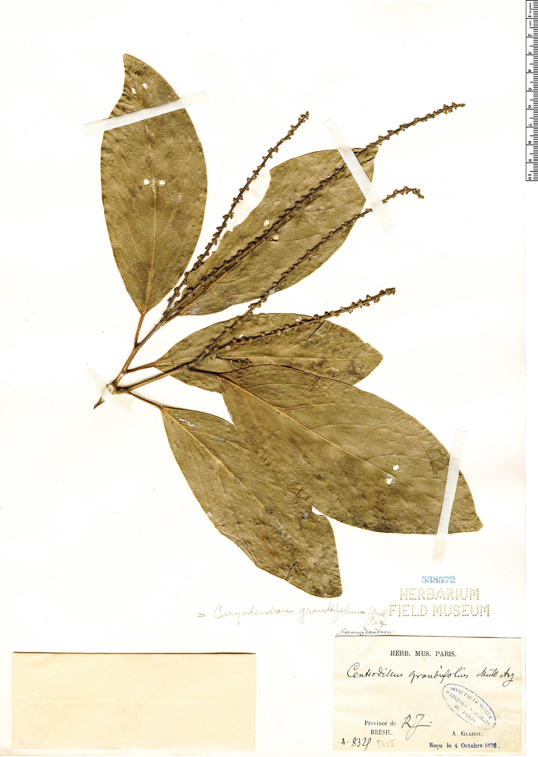 Specimen: Caryodendron grandifolium
