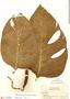 Monstera adansonii var. laniata (Schott) Madison, Guyana, J. S. de la Cruz 4327, F
