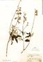 Salvia discolor Kunth, A. Weberbauer 6069, F