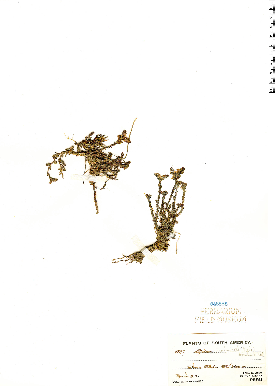 Specimen: Sedum reniforme