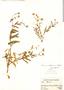 Senecio smithianus Cabrera, Peru, A. Weberbauer 7186, F