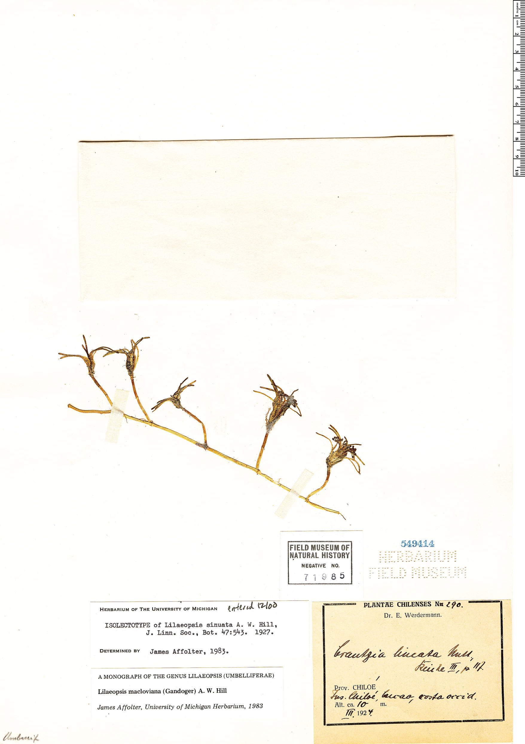 Specimen: Lilaeopsis macloviana