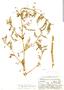 Aeschynomene americana var. glandulosa (Poir. & Lam.) Rudd, Bolivia, J. Steinbach 5521, F