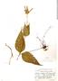 Salvia rusbyi Britton, Bolivia, J. Steinbach 5542, F