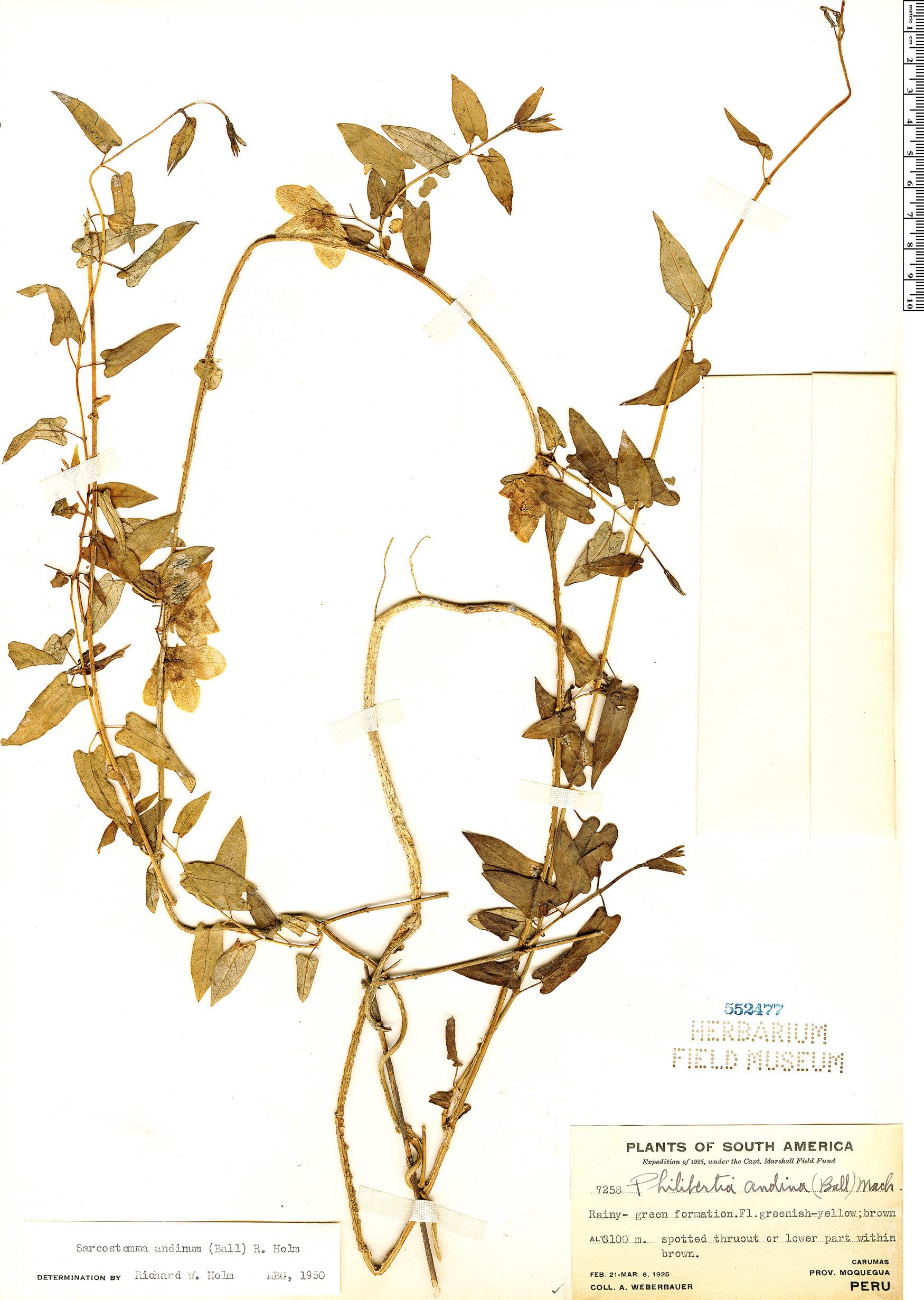 Specimen: Pentacyphus andinus