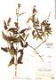 Salvia haenkei Benth., Peru, A. Weberbauer 7270, F