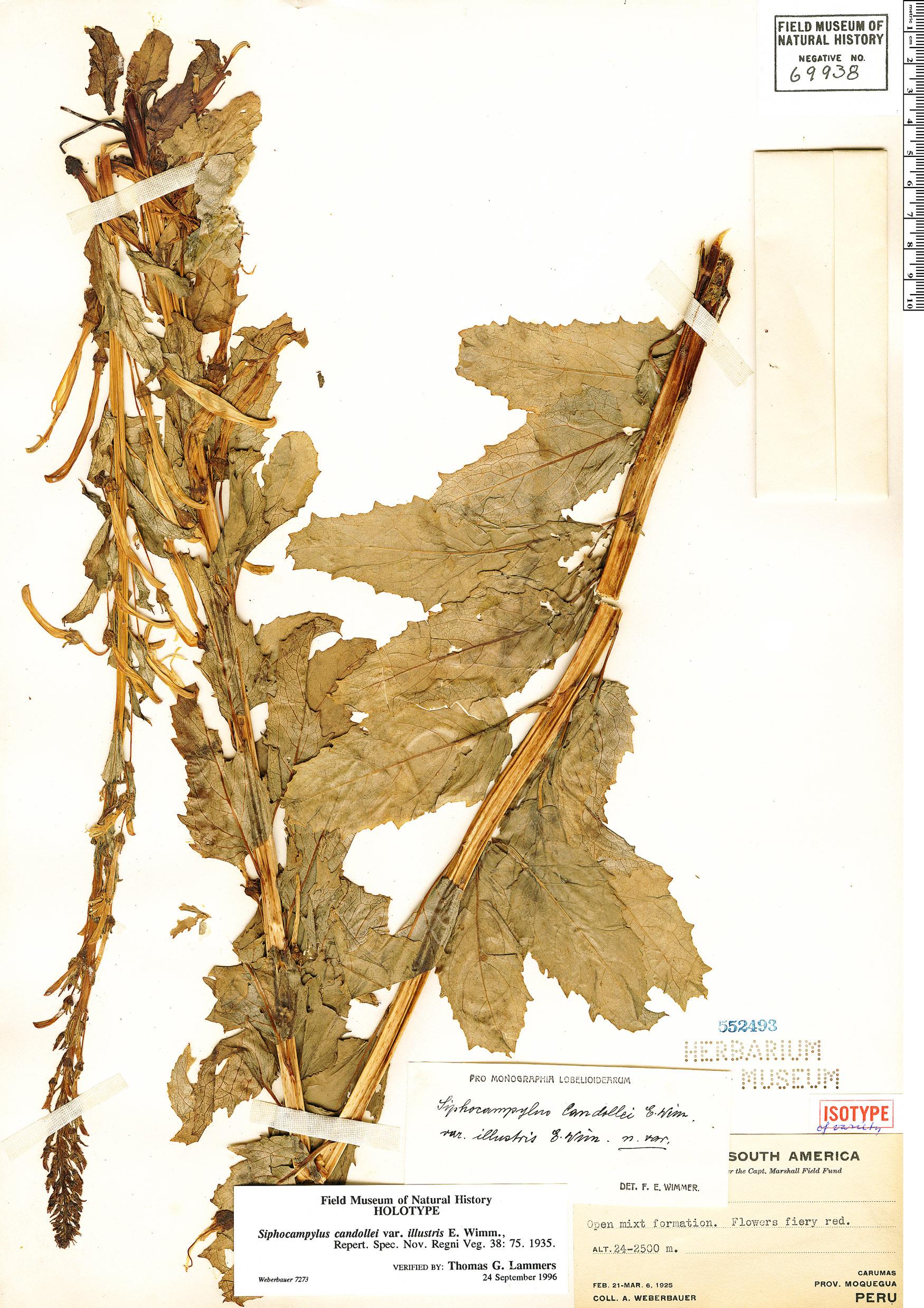 Specimen: Siphocampylus candollei