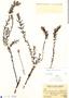 Bartsia serrata image