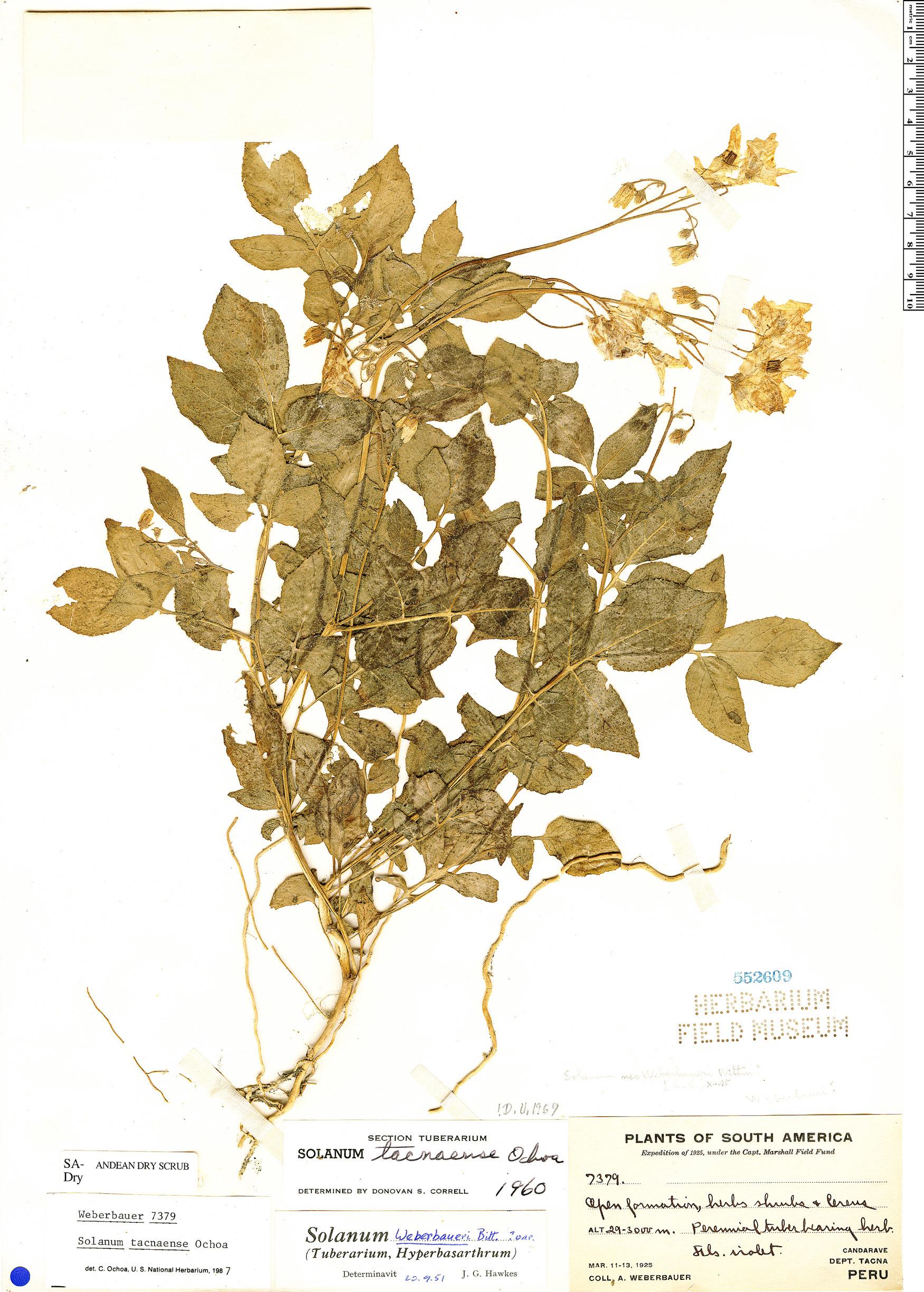 Specimen: Solanum tacnaense