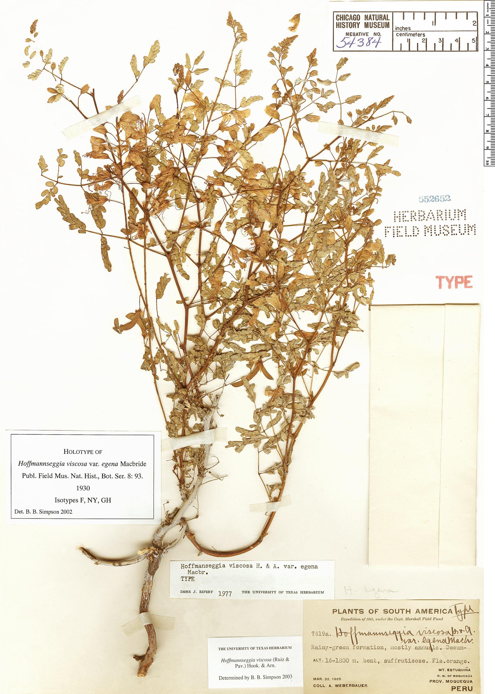 Espécime: Hoffmannseggia viscosa