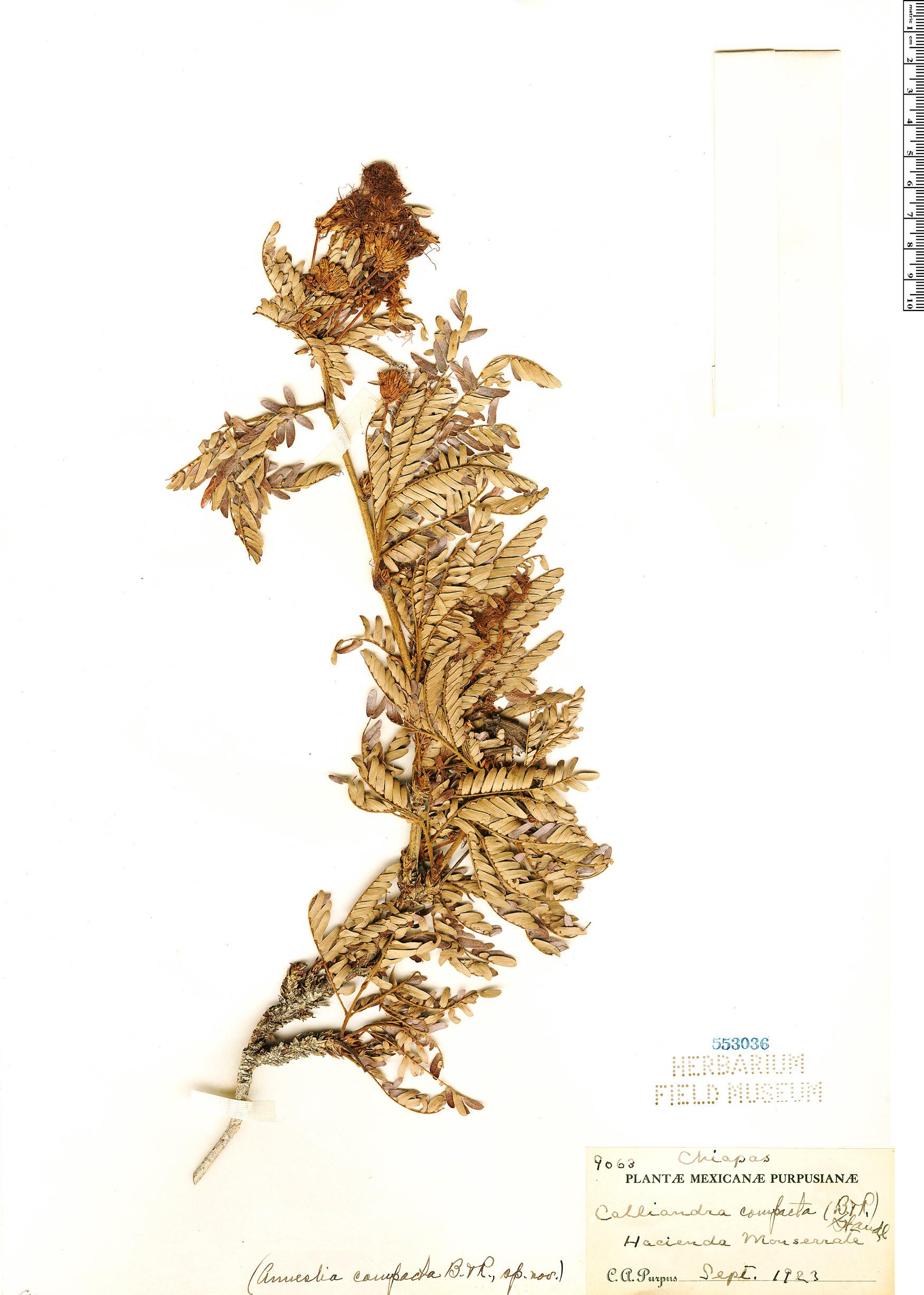 Specimen: Calliandra compacta