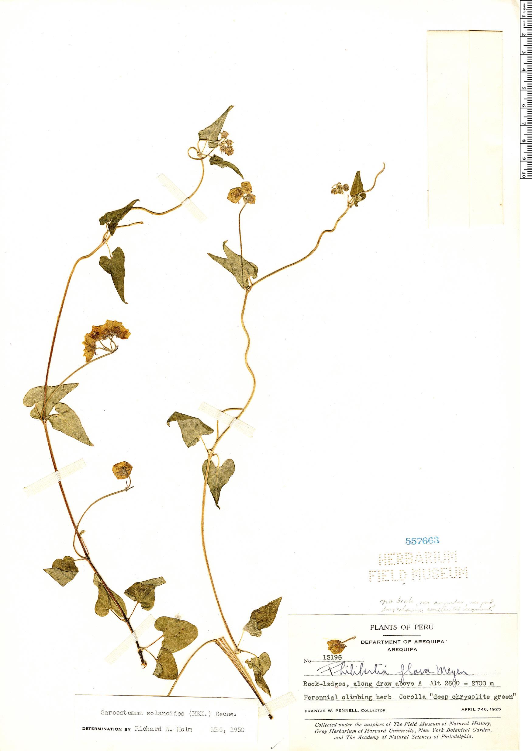 Specimen: Philibertia solanoides