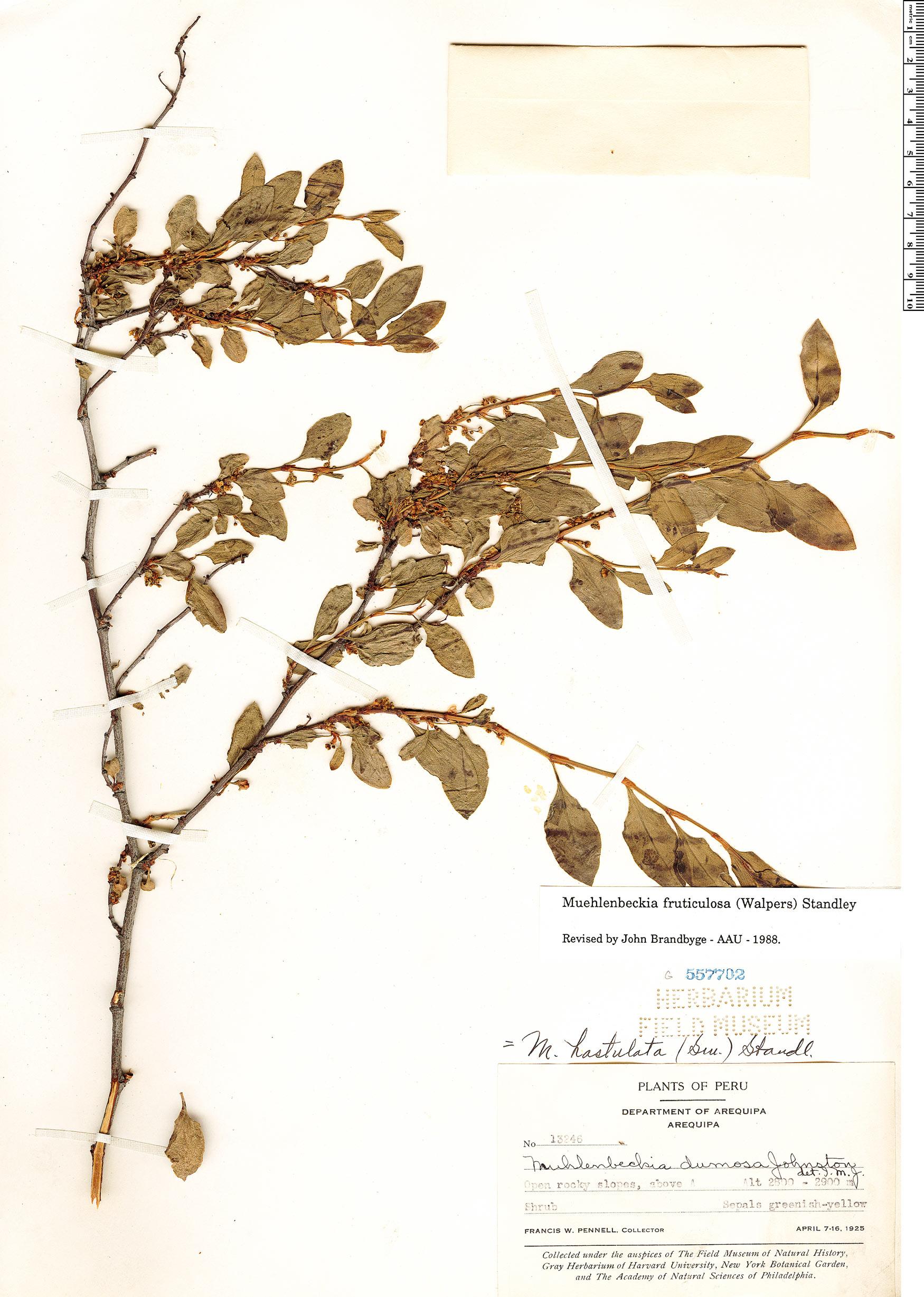 Specimen: Muehlenbeckia fruticulosa