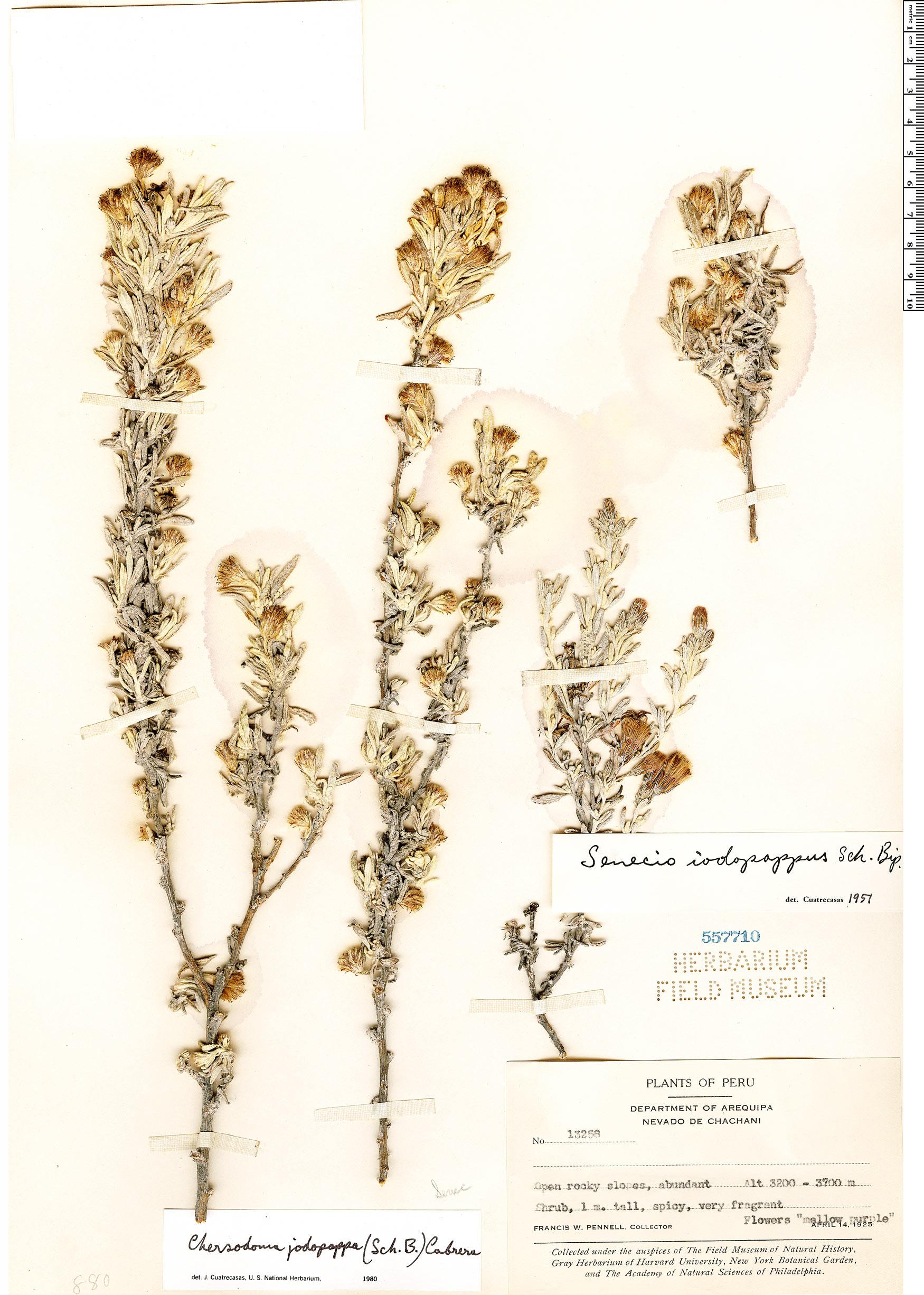 Chersodoma jodopappa image