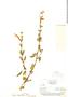 Salvia oppositiflora Ruíz & Pav., F. W. Pennell 13534, F