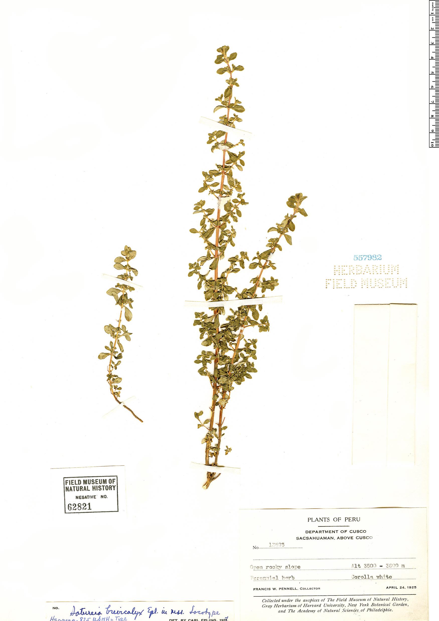Specimen: Clinopodium brevicalyx