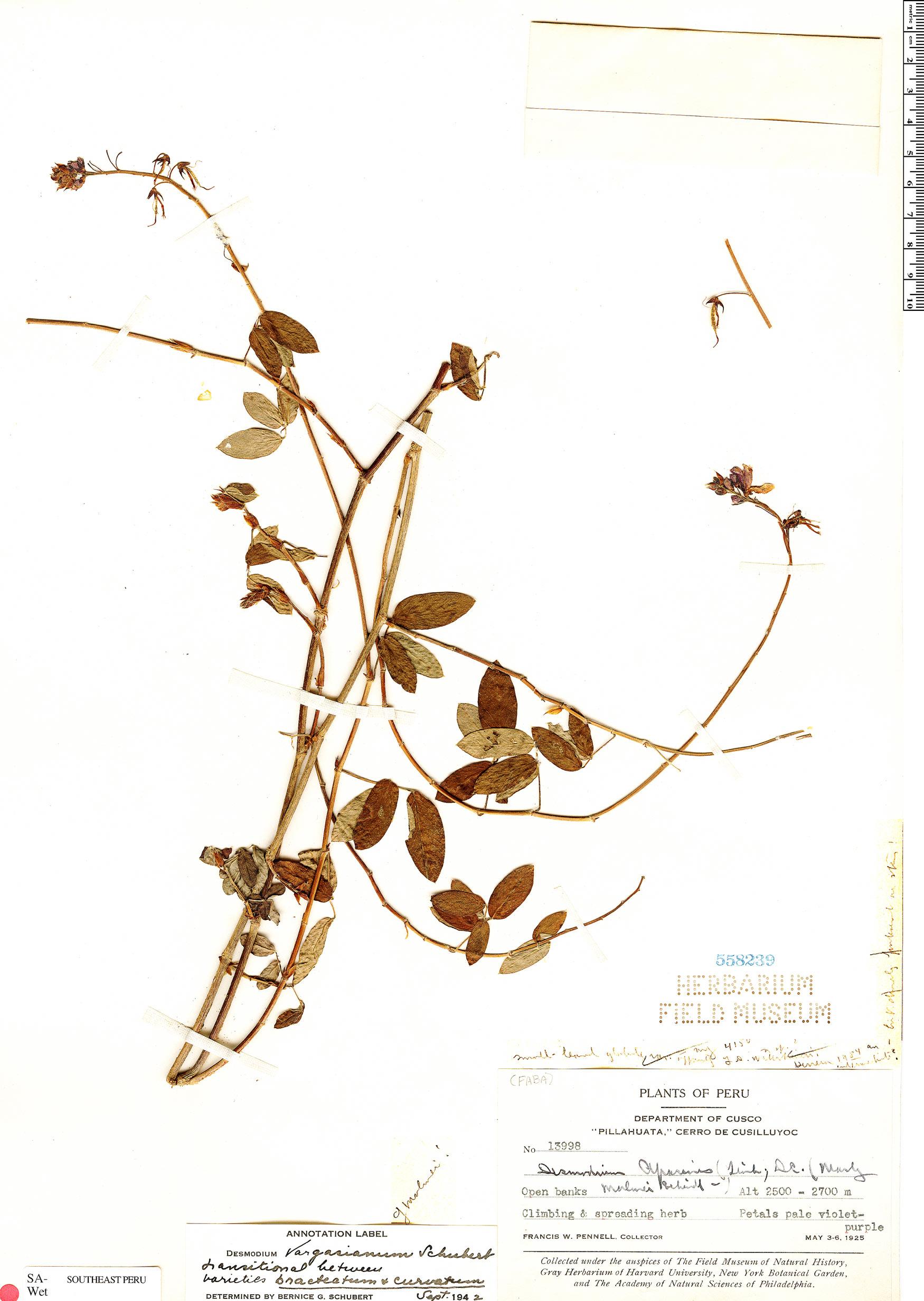 Specimen: Desmodium vargasianum