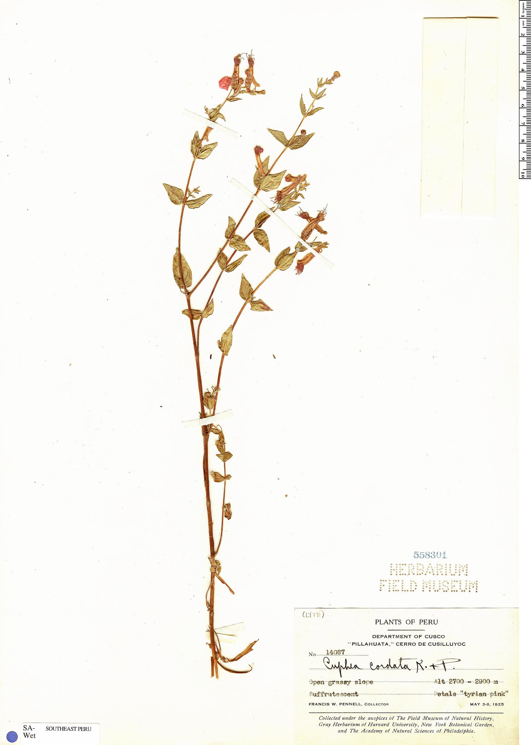 Specimen: Cuphea cordata