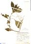 Ruellia puri Nees, Bolivia, J. Steinbach 7164, F