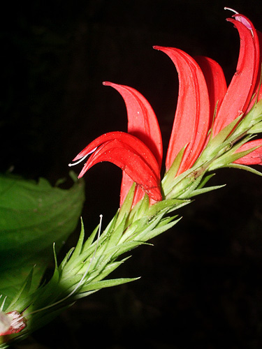 Specimen: Kalbreyeriella