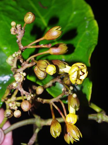 Specimen: Prestonia