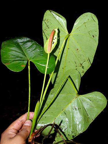 Specimen: Anthurium