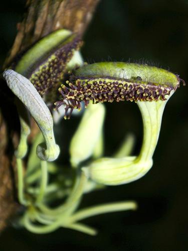 Specimen: Aristolochia