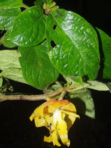 Specimen: Drymonia affinis