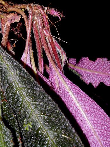 Specimen: Paradrymonia ciliosa