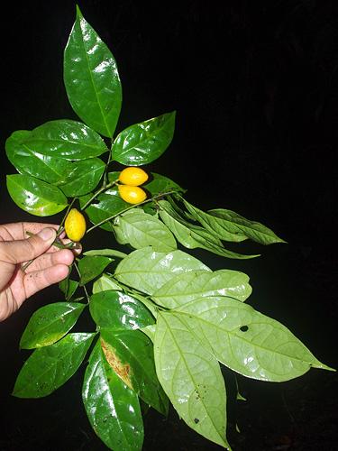 Specimen: Nothotalisia peruviana