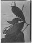 Field Museum photo negatives collection; Genève specimen of Roupala sessilifolia Rich., FRENCH GUIANA, J. B. Leblond 224, Isotype, G