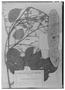 Acacia altiscandens image