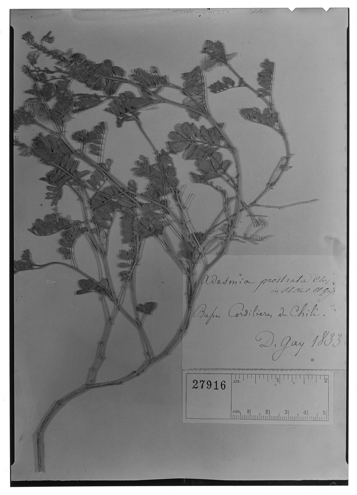 Adesmia prostrata image