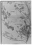 Adesmia vesicaria image
