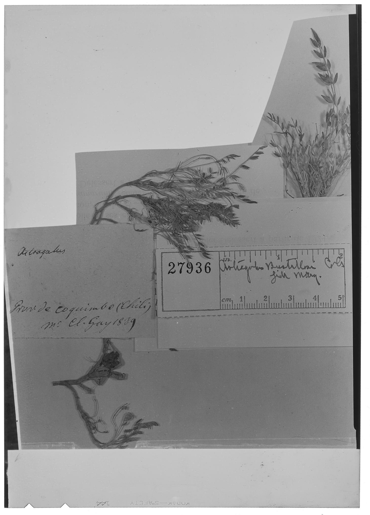 Astragalus bustillosii image